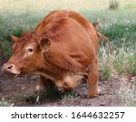 Red Angus Cross Cattle Lying...