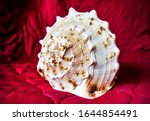 Sea shell on crimson background. Seashell macro view. Big seashell macro view. Seashell on dark red
