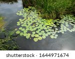 Water Lily Leaves On The Water...