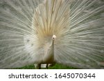 Close Up Of A White Peacock...