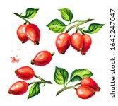 Branch Of Wild Rose Or Rosehip...