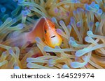 Pink Anemone Fish In Lavender...