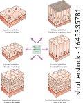Types Of Epithelial Tissue  ...