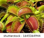 Dionaea Muscipula Typical Form. ...