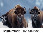 Yellowstone Bison In The Winte...