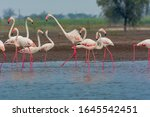 Fighting Flamingoes   Flock Of...