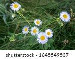 philadelphia fleabane  erigeron ...   Shutterstock . vector #1645549537