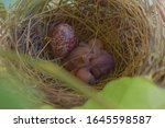 Hatchlings of Bulbul bird newly came out out their eggs.