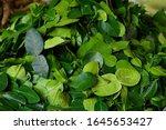 Kaffir Lime Leaves  We Can...