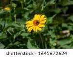 Heliopsis  False Sunflower ...