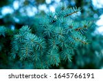 Blue Spruce  Green Spruce  Blue ...
