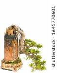 Banyan Bonsai Tree Isolated O...