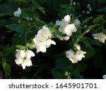 jasmine bloomed in the garden....   Shutterstock . vector #1645901701