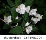 jasmine bloomed in the garden....   Shutterstock . vector #1645901704
