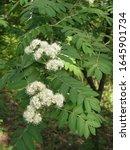 springtime. elderberry blossoms ...   Shutterstock . vector #1645901734