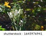Flower Head Of Unopened White...