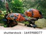 Tiger Oscar Fish  Astronotus...