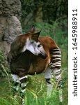 Okapi  Okapia Johnstoni  Female ...