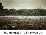 Roe Deer Herd From Distance...
