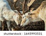 Young Deer Couple Fighting ...