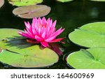 Water Lily  Lotus Flower In...