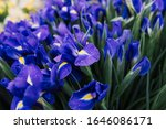 purple iris flowers bouquets... | Shutterstock . vector #1646086171