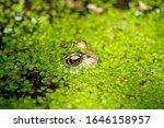 Uk Garden Frog Peaking Through...