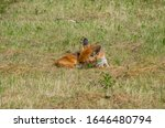 Red fox, Vulpes vulpes, in the meadow, wildife, Germany