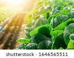 Organic Hydroponic Vegetables...