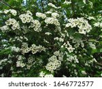 Small photo of hawthorn bush, Crataegus monogyna, ohter common names oneseed hawthorn, or single-seeded hawthorn, white blossom of shrub, treating cardiac insufficiency, medicinal plant