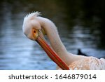 Pelican Preening By The Pond....