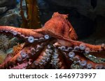 Giant Pacific Octopus. Close...