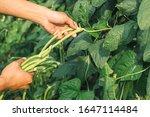 Harvest Yardlong Beans Organic...