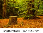 Tree Stump Surrounded By Falle...