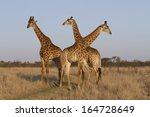 Three Giraffe Standing In...