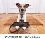 Stock photo dog with leather leash waiting to go walkies 164733137