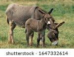 Grey Domestic Donkey  Female...