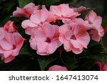 Impatiens Neu Guinea Flower...