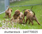 Stock photo adorable little rhodesian ridgeback puppies playing together in garden funny expressions in their 164770025