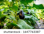Ripe Eggplants Growing In The...