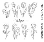 tulips. vector set of outline... | Shutterstock .eps vector #1647877807