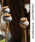 Dry Seed Pod Of Poppy Flower