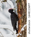 Male Black Woodpecker ...