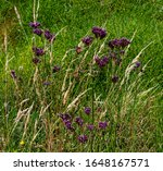 Purple Statice Growing Wild In...
