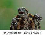 Funny Face Brazilian Turtle ...
