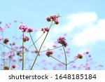 The Beauty Of Purple Verbena...