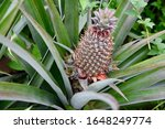 Pineapple Plant In French...