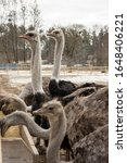 Ostrich  Young Ostriches Eat...