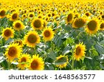 A Beautiful Field Of Sunflower...