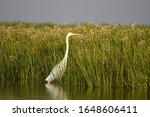 The Great White Egret  Ardeidae ...